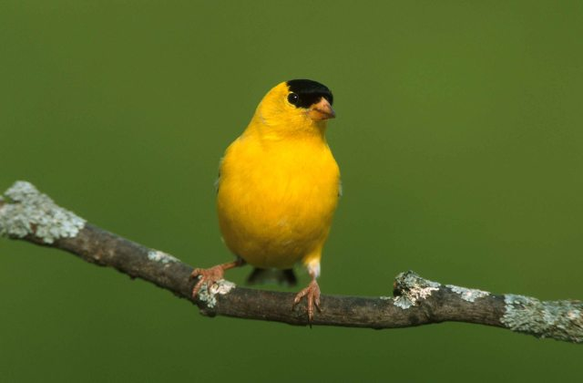 compressed photoshop goldfinch 1