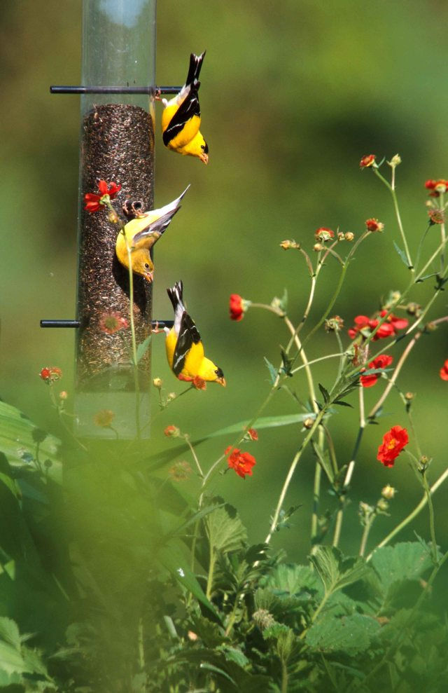 compressed photoshop goldfinch 10