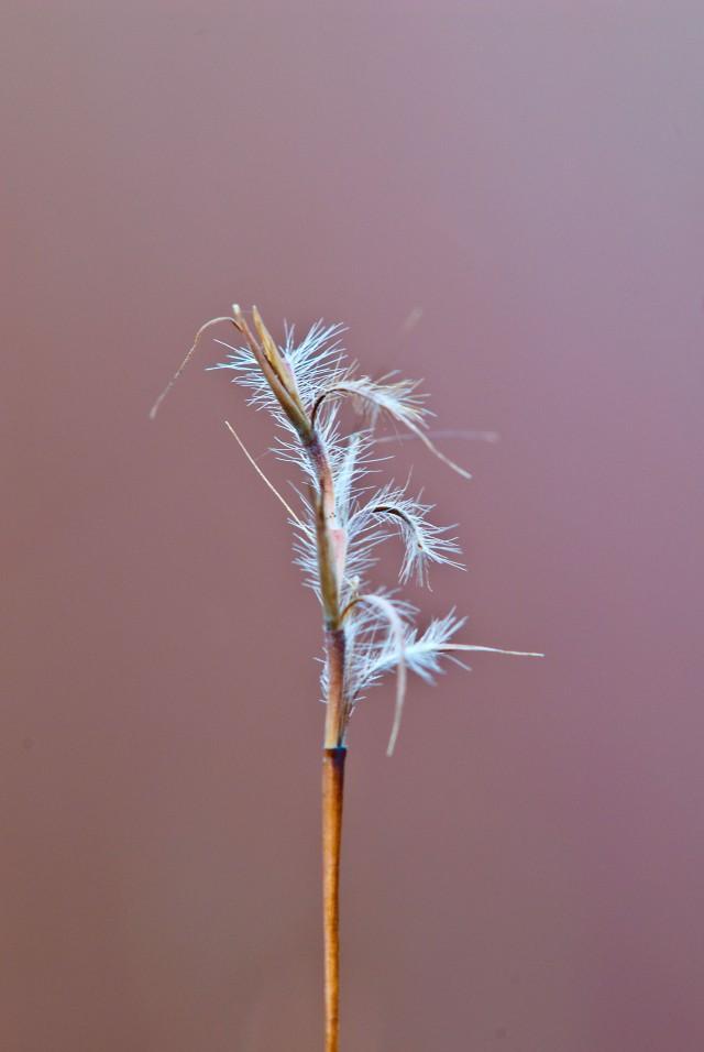 "Seedhead of ""Beard Grass"", i.e. Little Bluestem"