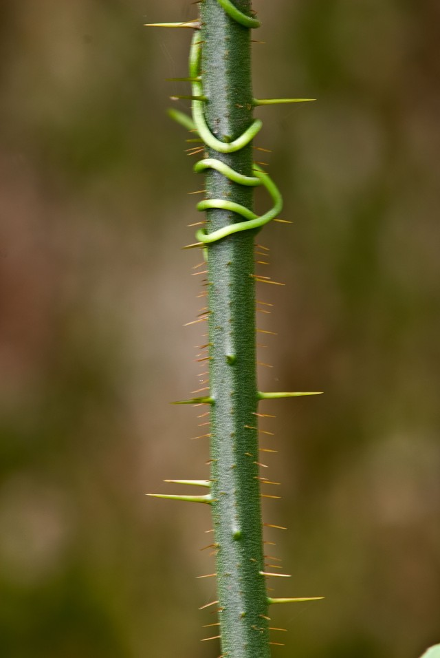 Note the numerous straight thorns