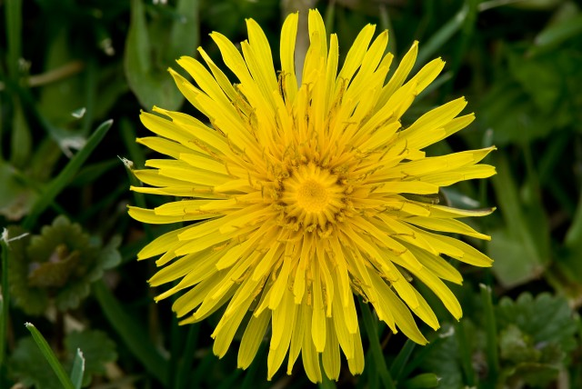 Common Dandelion Taraxacum officinale